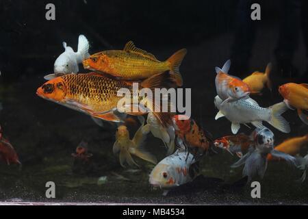 Orange and white Japanese koi fish (Cyprinus rubrofuscus) - Stock Photo