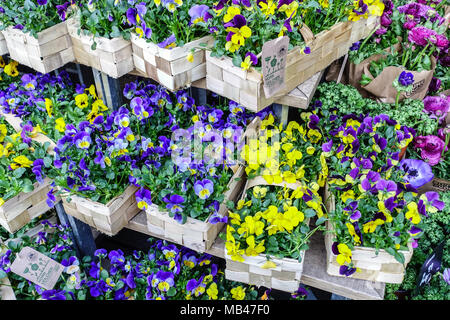 Pansies, Viola tricolor for sale in basket - Stock Photo