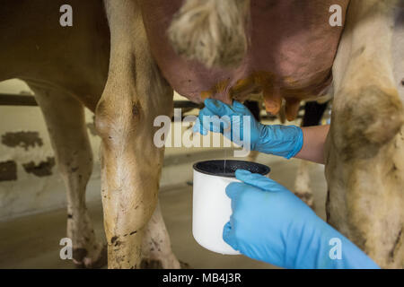 Germany, Echem. 7th April 2018.  Participant Janika Waller taking a sample of milk from a cow's udder during the Lower Saxon milking championship. Twelve young men and women of between 16 and 25 years of age are competing to find out who is the best milker. The top three will then go on to the national competition. Photo: Philipp Schulze/dpa Credit: dpa picture alliance/Alamy Live News - Stock Photo