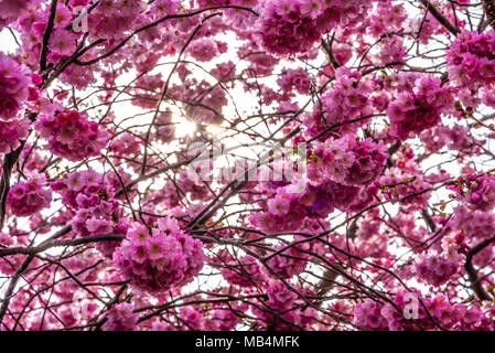 Pink blossom. Early spring tree blossom on Cliff Gardens, Southend on Sea, Essex, UK - Stock Photo