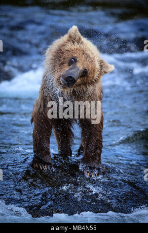 A young brown bear shakes off the water after fishing among the Riffles in Brooks Falls. - Stock Photo