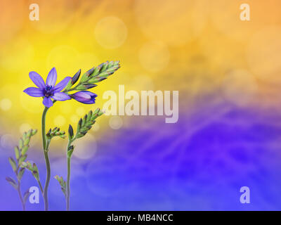 Purple freesia flowers and buds on the blue yellow blurred background. Floral desktop. - Stock Photo
