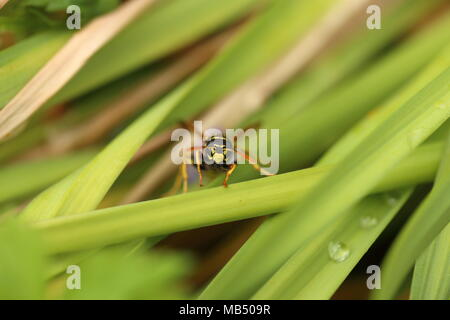 close up of a Wasp trying to climb a blade of plant - Stock Photo