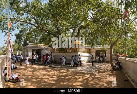 Horizontal view of the Bodhi tree at Jaya Sri Maha Bodhi in Anuradhapura, Sri Lanka. - Stock Photo