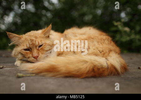 Ginger cat relaxing in the garden on a wooden board - Stock Photo