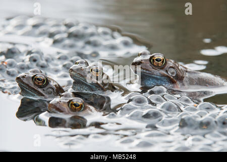 Common frogs (Rana temporaria) spawning, Emsland, Lower Saxony, Germany - Stock Photo