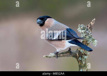 Eurasian bullfinch (Pyrrhula pyrrhula), female, sits on mossy branch, Terfens, Tyrol, Austria - Stock Photo