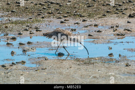 Eastern Curlew Numenius madagascariensis Wellington Point, Queensland Australia - Stock Photo