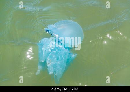 A blue blubber jellyfish Catostylus mosaicus, off the coast near brisbane, queensland, australia - Stock Photo