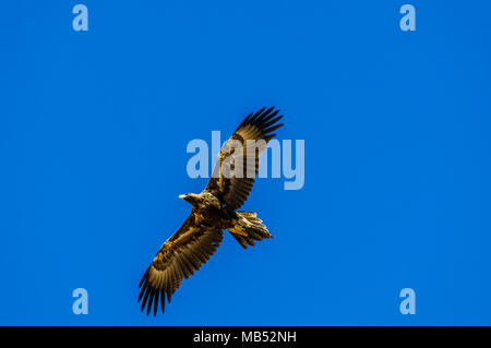 wedge tailed eagle, boulia, queensland, australia - Stock Photo