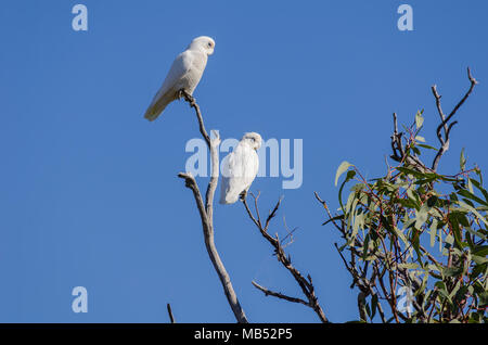 little corellas, birdsville, queensland, australia - Stock Photo