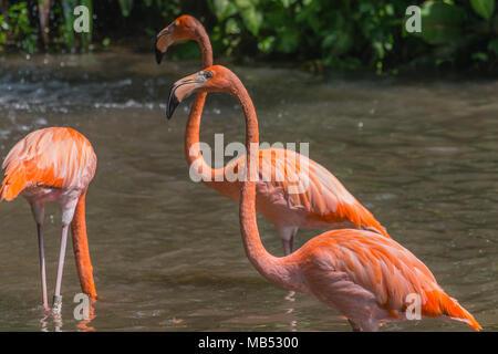 American or Caribbean flamingo, Jurong bird park, singapore - Stock Photo