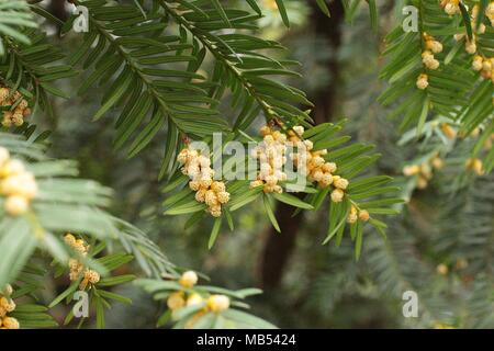 Male flowers of european yew - Taxus baccata - Stock Photo