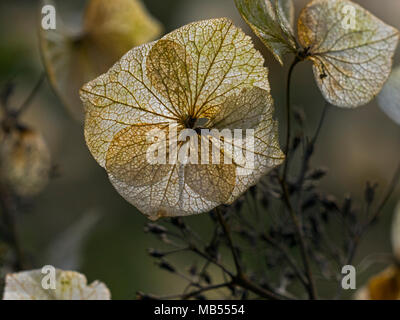 Close up of Hydrangea Flower Skeletons in spring - Stock Photo
