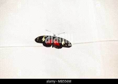 Doris Longwing Butterfly (Laparus doris viridis). - Stock Photo