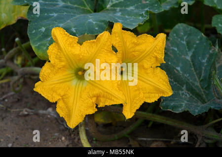 Background of Two Beautiful Pumpkin Flowers with a Bee Collecting Pollen, Macro, Nature - Stock Photo