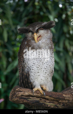 Barred Malay Eagle Owl - Stock Photo
