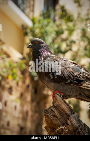 Closeup of a sideways-facing rock dove perched on a broken tree trunk with foliage in the background. - Stock Photo