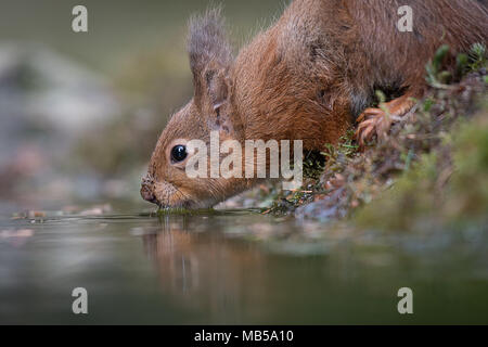 A very close up image from a low level of a red squirrel drinking from a pool with a slight reflection in the water - Stock Photo