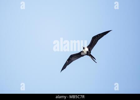Female magnificent frigatebird Fregata magnificens flies high above Clam Pass in Naples, Florida - Stock Photo