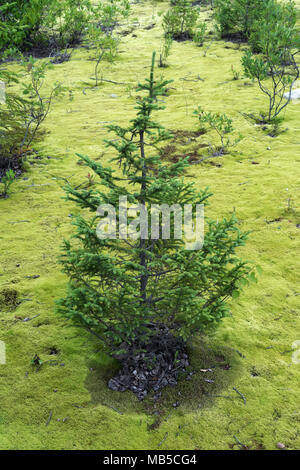 A small fir tree growing on a bed of hair cap moss in the Monts Valin region, province of Quebec, Canada. - Stock Photo