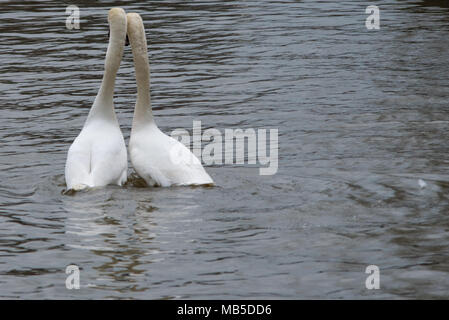 pair of mute swans dancing on river with head and necks together - Stock Photo