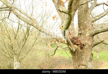 Hand Reared medium sized Long Eared African Owl sitting in a tree in the East Sussex countryside. East Sussex. Britain. - Stock Photo