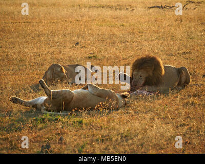 golden light on adult male lion (Panthera leo) with dark mane devouring prey watched by lioness that caught it on plains of Greater Mara,Kenya,Africa - Stock Photo