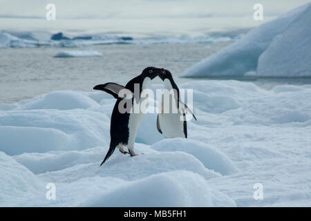 Devil Island Antarctica, adelie penguins on ice with bay in background - Stock Photo