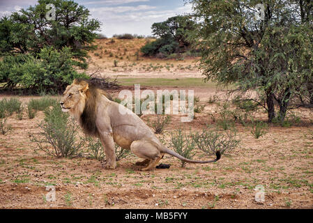 male lion on his morning toilet, Panthera leo, Kgalagadi Transfrontier Park, South Africa, Africa - Stock Photo