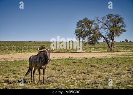 single male Blue wildebeest (Connochaetes taurinus) of Kgalagadi Transfrontier Park, South Africa, Africa - Stock Photo