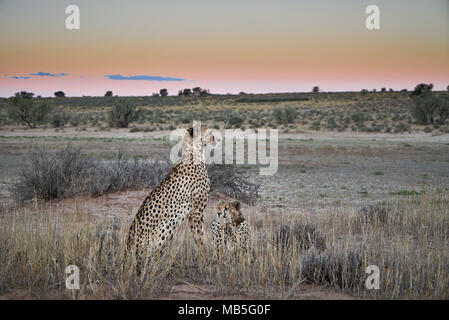 Cheetah with older cub on the prowl, Acinonyx jubatus, Kgalagadi Transfrontier Park, South Africa, Africa Stock Photo