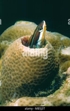 Forktail blenny (Meiacanthus atrodorsalis), Wakatobi island, Indonesia, Asia - Stock Photo