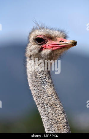 Ostrich - Stock Photo