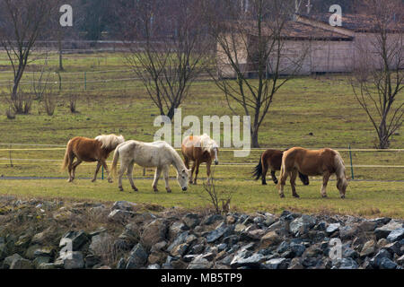 Five horses grazing on a grass field - Stock Photo