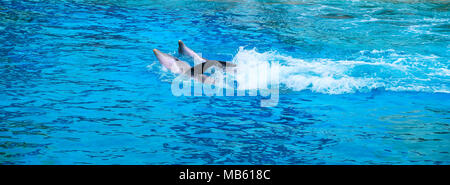 Common bottlenose dolphins, known also as Atlantic bottlenose dolphin or Bottle-Nosed Dolphin, Tursiops truncatus, in a zoological garden - Stock Photo