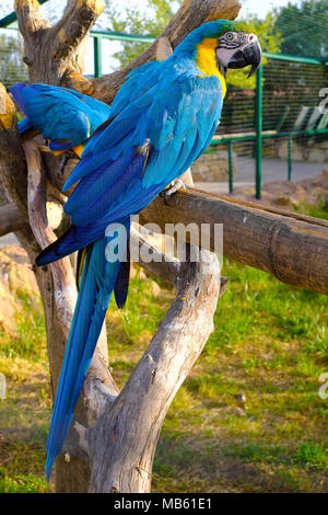 Pair of Blue-and-yellow macaw parrot birds, known also as Blue-and-gold macaw, Ara ararauna, in a zoological garden - Stock Photo