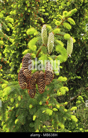 young and old cones and leaves of norway spruce - Stock Photo