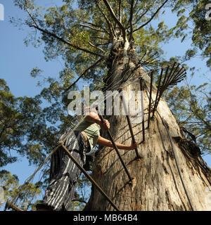 Teenager climbing the 53 metre tall Gloucester Tree, Pemberton, Western Australia - Stock Photo
