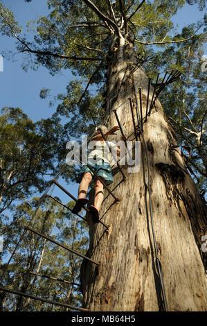 Woman climbing the 53 metre tall Gloucester Tree, Pemberton, Western Australia - Stock Photo