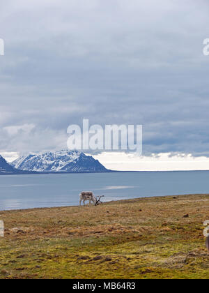 Wild native reindeer on the plateau of Alkhornet, Svalbard, Spitsbergen in the Arctic Circle, part of Norway.  Covered in glaciers and fjords - Stock Photo