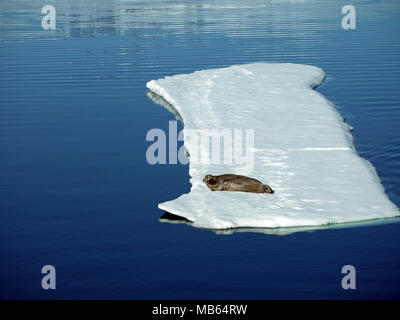 Walrus lying on a large piece of pack ice at above 80 degrees north and only 600 nautical miles from the North Pole - Stock Photo