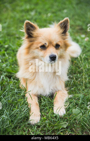 Closeup portrait of cute face of small yellow dog laying on green grass outdoors calmly. Vertical color photography. - Stock Photo