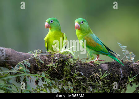 Orange-chinned Parakeet - Brotogeris jugularis, beatiful colorful parrot from Central America forest Costa Rica. - Stock Photo