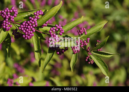 Beautyberry Bush. Callicarpa americana. Beavercreek, Dayton, Ohio. USA. - Stock Photo
