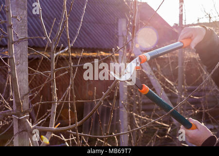 Secateurs close-up in a man's hand controlling a branch of a sweet cherry in the garden. The concept of professional industrial gardening. - Stock Photo