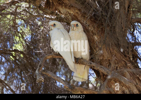 A pair of Little Corellas (Cacatua sanguinea) in Neil Hawkins Park, Lake Joondalup, Western AustraliaLittle Corella (Cacatua sanguinea) - Stock Photo