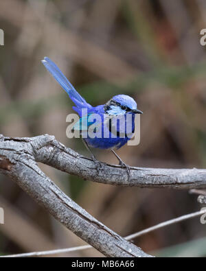 A male Splendid Fairy-wren (Malurus splendens) at Lake Joondalup, Yellagonga Regional Park, Perth, Western Australia - Stock Photo