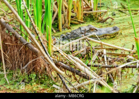 small alligator at gator lake in st. andrews state park, panama city florida - Stock Photo