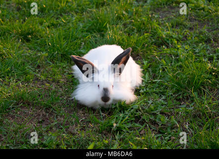 Lionhead Rabbit - Stock Photo